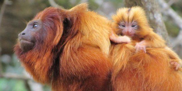 Nascem os primeiros micos-leões-dourado de 2015. E eles são muito fofos