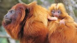 ATENÇÃO: Nascem os primeiros micos-leões-dourado de 2015