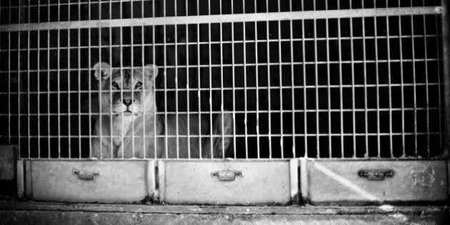 Goiás proíbe uso de animais em circos. Brasil deveria fazer o