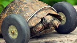 Tartaruga descolada usa rodinhas para se