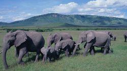 Massacre: mais de 100 mil elefantes foram mortos em dois anos na