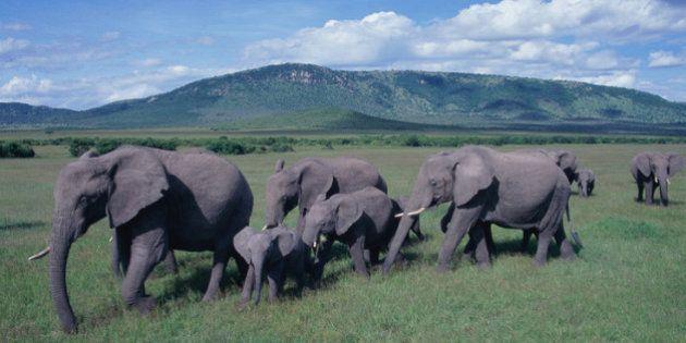 MEIO AMBIENTE: mais de 100 mil elefantes foram mortos na África em apenas dois anos, revela