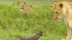 Rei da Selva?! Pense duas vezes: Conheça o animal que enfrentou três