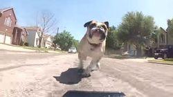 ASSISTA: Bulldog A-DO-RA perseguir carrinho de controle