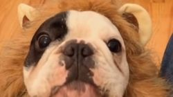 ASSISTA: este Leão-Buldogue tem uma mensagem muito importante para