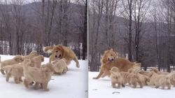 ASSISTA: Mamãe Golden Retriever brinca com filhotes na