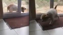 ASSISTA: Cachorro educado limpa as patas antes de entrar em