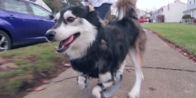 Cachorro com deficiência ganha próteses feitas em impressora 3d