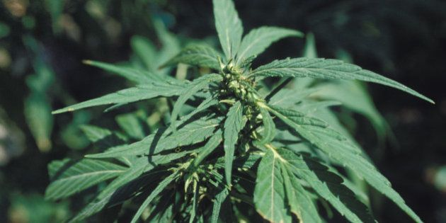 Marihuana plant in Chiang Mai in Thailand (Photo by Jordi Cami/Cover/Getty