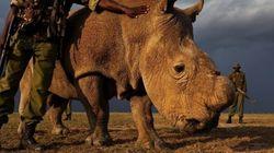 Último rinoceronte branco vivo no Quênia é escoltado por guarda