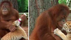 ASSISTA: Orangotango vira 'babá' de tigrinhos em