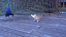 ASSISTA: gatinho pensa que pavão é brinquedo para