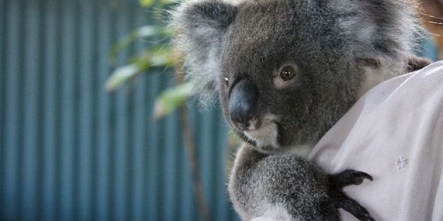 Austrália sacrifica 700 coalas por conta de superpopulação; Animal corre risco de extinção em algumas...