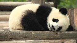 Vale mesmo a pena salvar pandas? É provável que