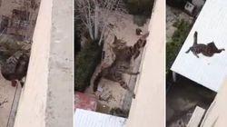 ASSISTA: Gato cai de prédio, não morre e ainda sai correndo.