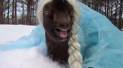 Let it Bééééhhh!! Veja uma cabra vestida como Elsa de