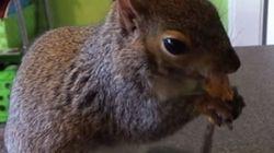 ASSISTA: Esquilo educado come manteiga de amendoim... Com um