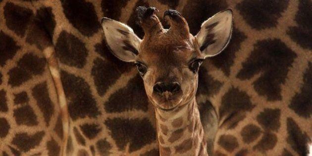 Nasceu! Zoológico de SP dá boas vindas a uma linda