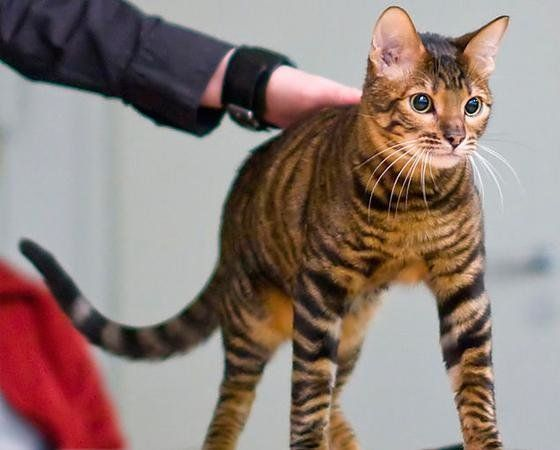 15 raças de gatos com características fora do