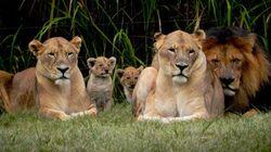 Turista é morta em ataque de leoa na África do