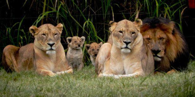 07.05.2011_Lion