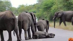 Deita na BR! Manada protege e ajuda elefantinho que cai no meio da