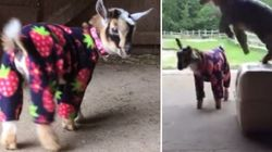 ASSISTA: Cabras ganham roupas novas e dão pulinhos de