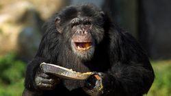 Chimpanzés conseguem cozinhar e preferem comidinhas