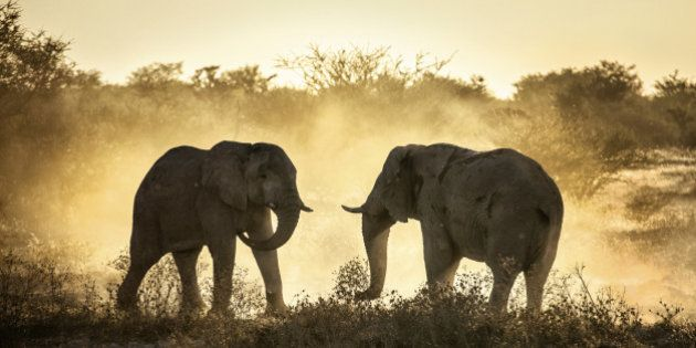 Two elephants battle in the afternoon