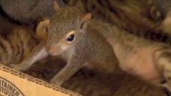 ASSISTA: Adotado por gatos, filhote de esquilo aprende a