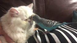 ASSISTA: Periquito tira a remela dos olhos de gato