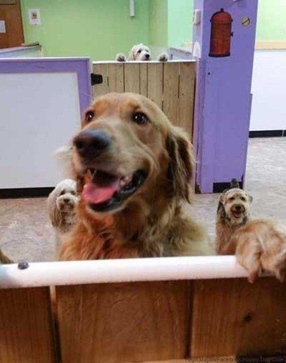 Este cachorro golden retriever fugiu de casa nos EUA para visitar companheiros em spa