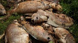 Em risco de extinção, peixes atingidos pelo tsunami de lama serão