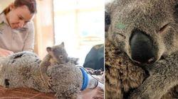 FOTOS: Filhote abraça mamãe coala em cirurgia de vida ou