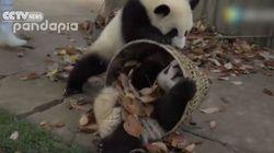 ASSISTA: Estes dois pandas arteiros e fofíssimos causam MUITO com o