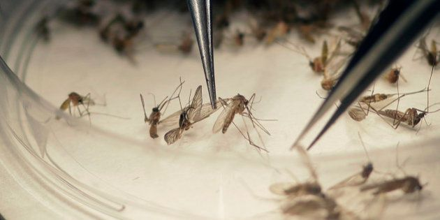 Dallas County Mosquito Lab microbiologist Spencer Lockwood sorts mosquitos collected in a trap, left,...