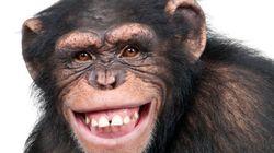 Chimpanzés também ficam