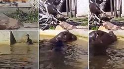 ASSISTA: Hipopótamos ajudam patinho desesperado a sair de