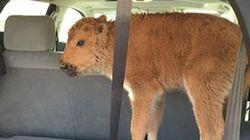 Ah, humanos... Filhote de bisão é sacrificado após ser 'salvo do frio' por