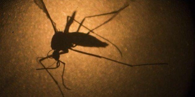 Aedes aegypti já se tornou mosquito doméstico, alerta