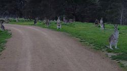 ASSISTA: Homem é cercado por cangurus em passeio de bicicleta na