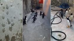ASSISTA: Pinguins tentam escapar de zoológico na