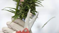 Pais querem permissão para plantar maconha e usá-la no tratamento da filha de 11