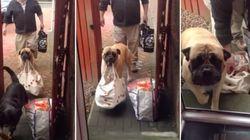 ASSISTA: Cadela ajuda donos a carregar as compras do