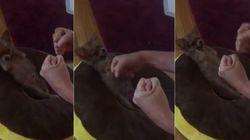 ASSISTA: Chihuahua que nasceu sem as patinhas é um verdadeiro