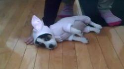 ASSISTA: Cachorrinho vestido de coelho se esquece de como ficar em
