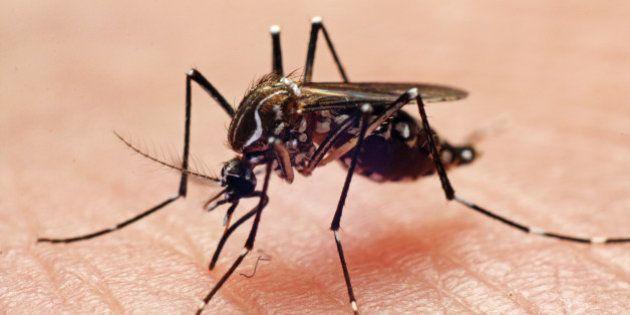 Dengue fever vector, mosquito biting