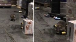ASSISTA: Guaxinim invade depósito, bebe todas e fica completamente