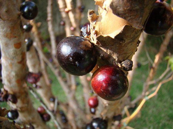 Frutas, um elemento fundamental da cultura