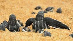 Lama do Rio Doce faz Projeto Tamar transferir ninhos de